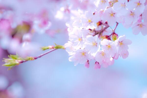 千秋公園(秋田) 桜まつり2018 お得な駐車場は?開花状況はどう ...